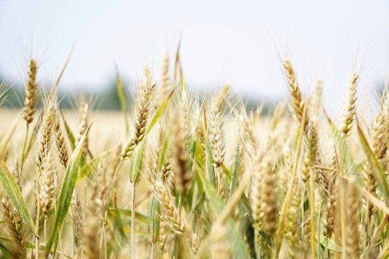 """Çağımızın Biyolojik Silahı """"Buğday"""" !!"""